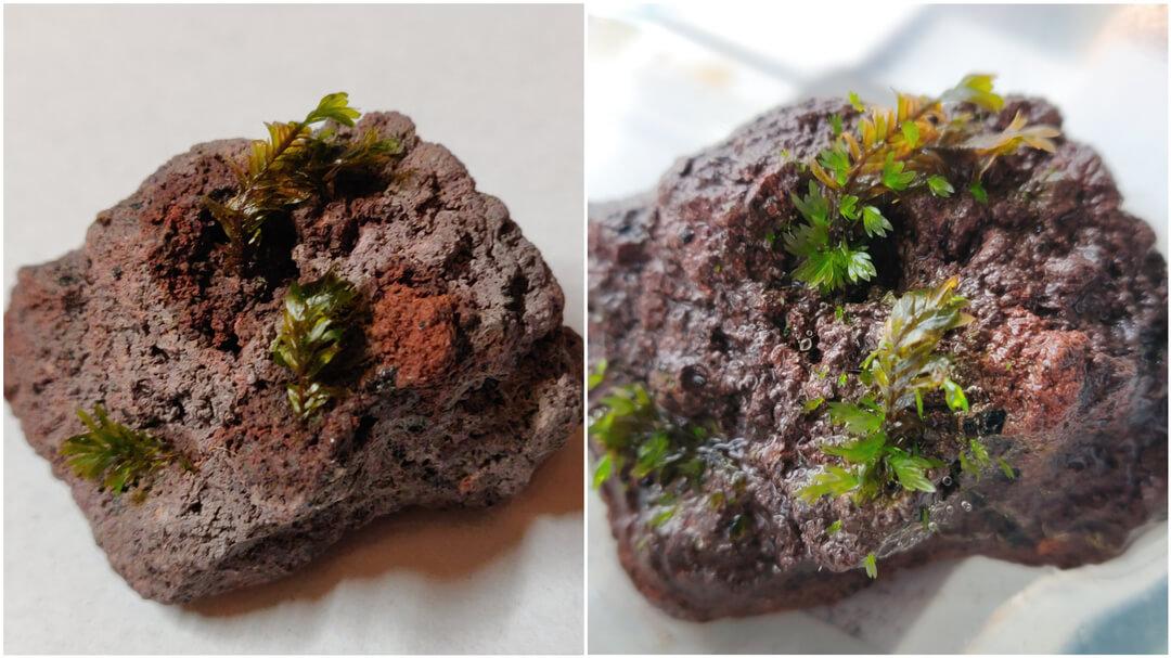 Progress of growing Fissidens Miroshaki moss on lava rocks
