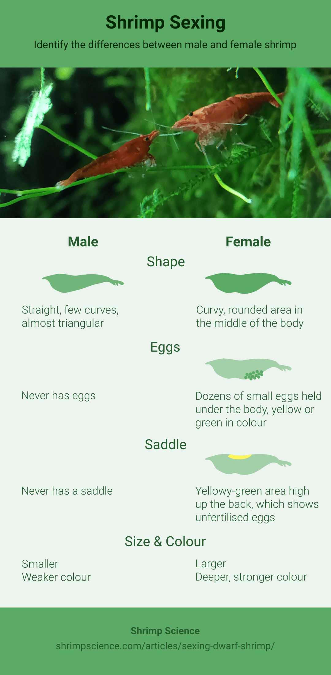 Identifying Male And Female Cherry Shrimp Shrimp Science